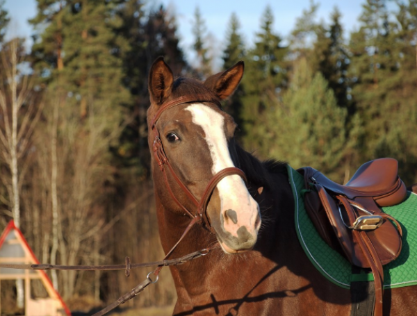 Уздечка Кука купить в интернет магазине конной амуниции